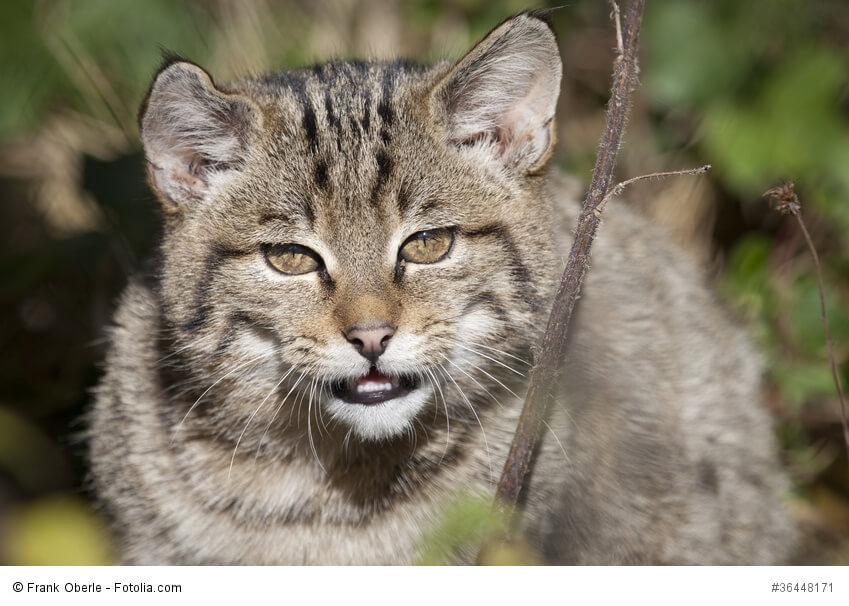 Europäische Waldkatze