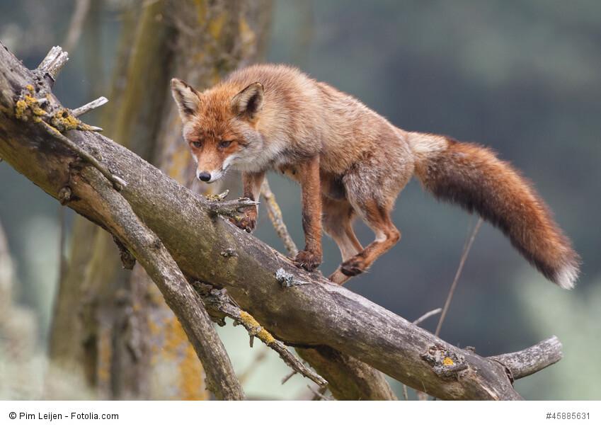 Fuchs auf Nahrungssuche