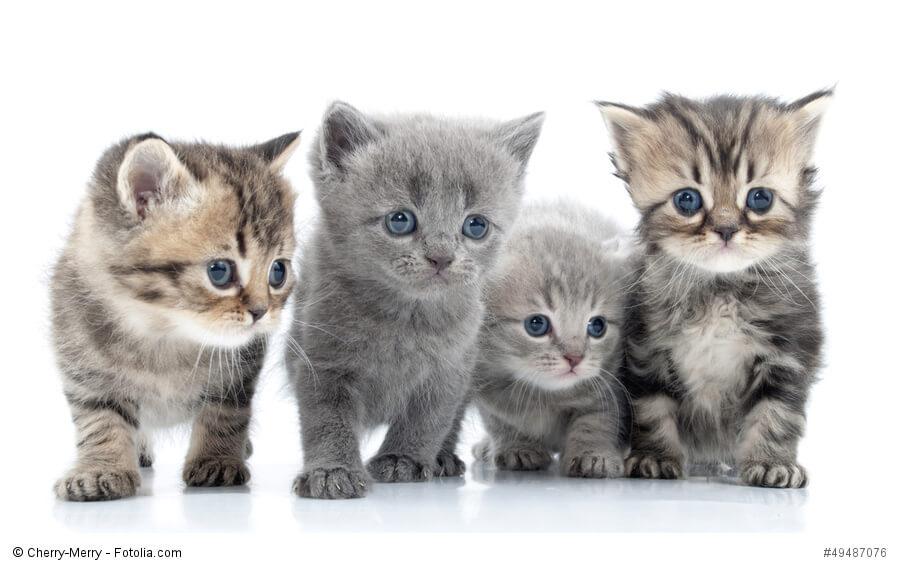 Katzen kaufen - was sollte man beachten.