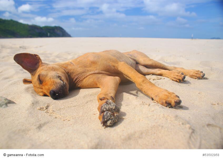 Entspannter, schlafender Hund am Sandstrand mit blauem Himmel
