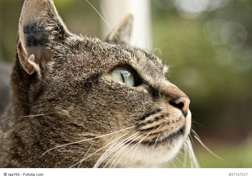 Eine Katze mit Tätowierung im Ohr wird leichter gefunden, wenn sie entläuft