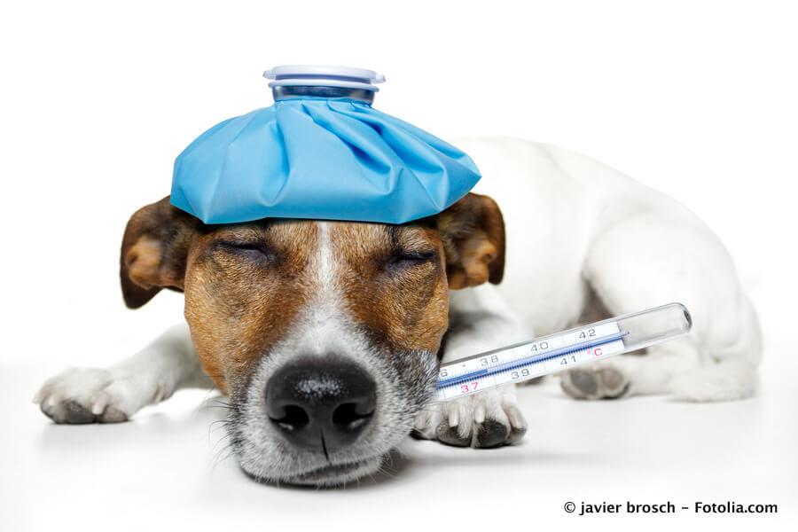 Hund mit Themometer im Maul und blauem Kühlbeutel auf dem Kopf