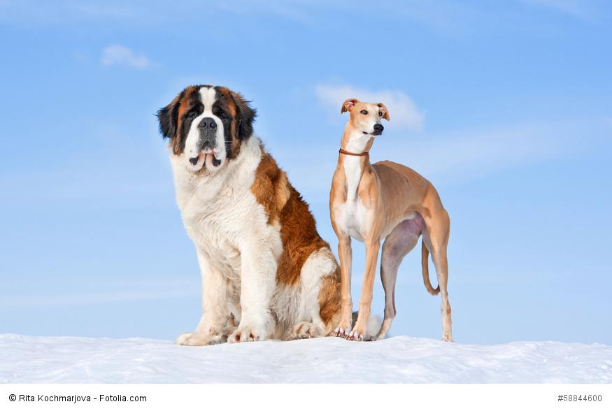 Ein Bernhardiner und ein Windhund auf einem Hügel