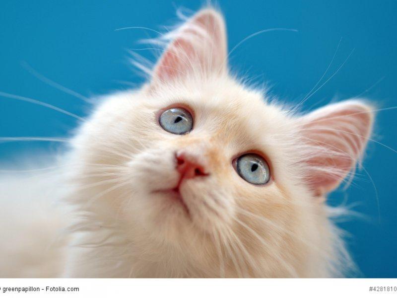 Kitten einer Halblanghaarkatze