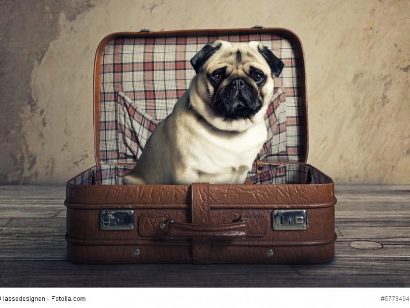 Mit Mops verreisen ist möglich – allerdings nicht im Koffer ;-)