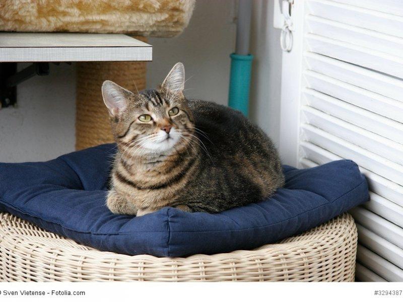 Europäisch Kurzhaar genießen wie alle Katzen gerne ihr Leben