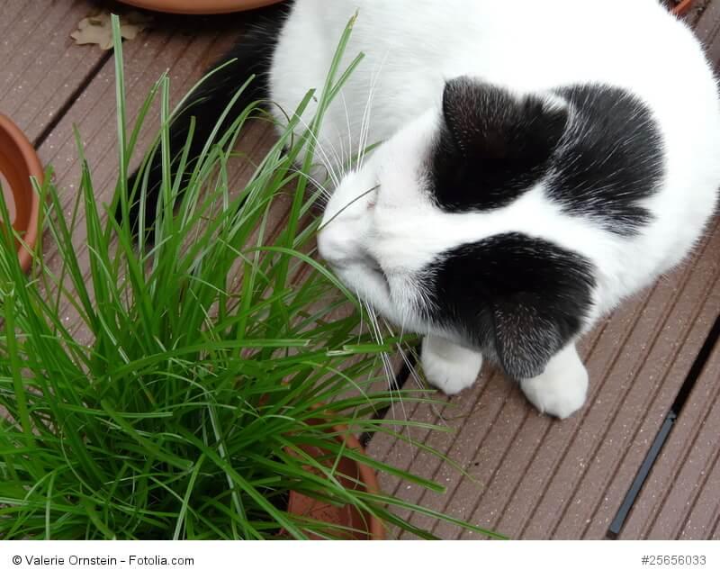 Katzengras dient der Nahrungsergänzung und hilft unterstützend beim Auswürgen von Haarbällen