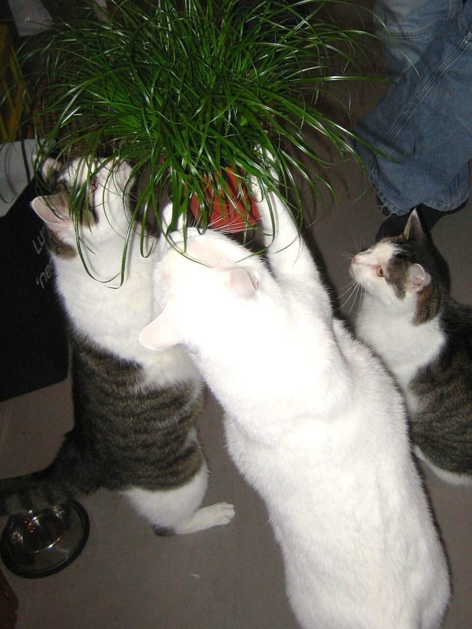 Drei Katzen strecken sich nach einem Topf mit Gras