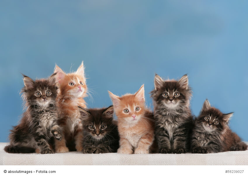 Maine Coon Kitten in verschiedenen Farben sitzen vor einem blauen Hintergrund