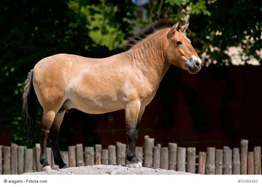 Przewalski Pferd Reiten Przewalski-pferd im Zoo in