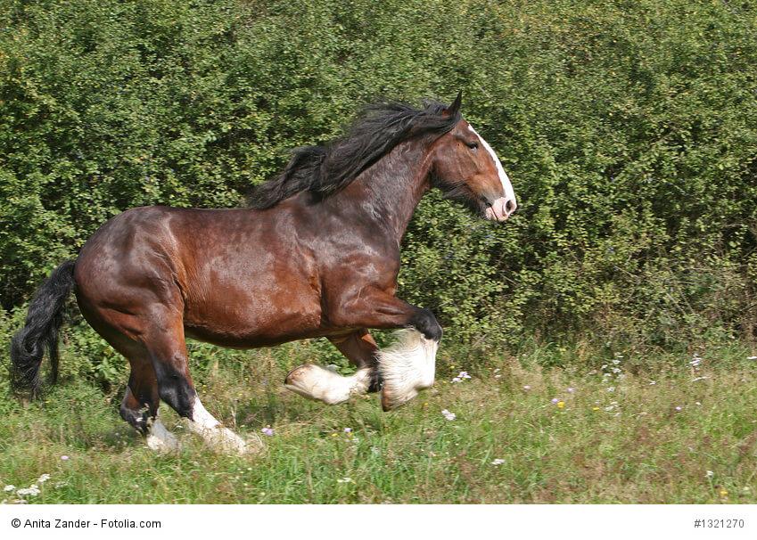 Kaltblutpferd Shirehorse im Galopp auf einer Wiese