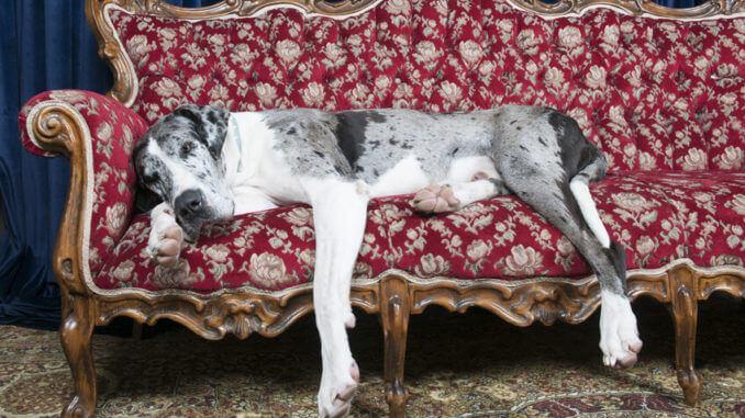 Eine Dogge schläft auf einem Sofa