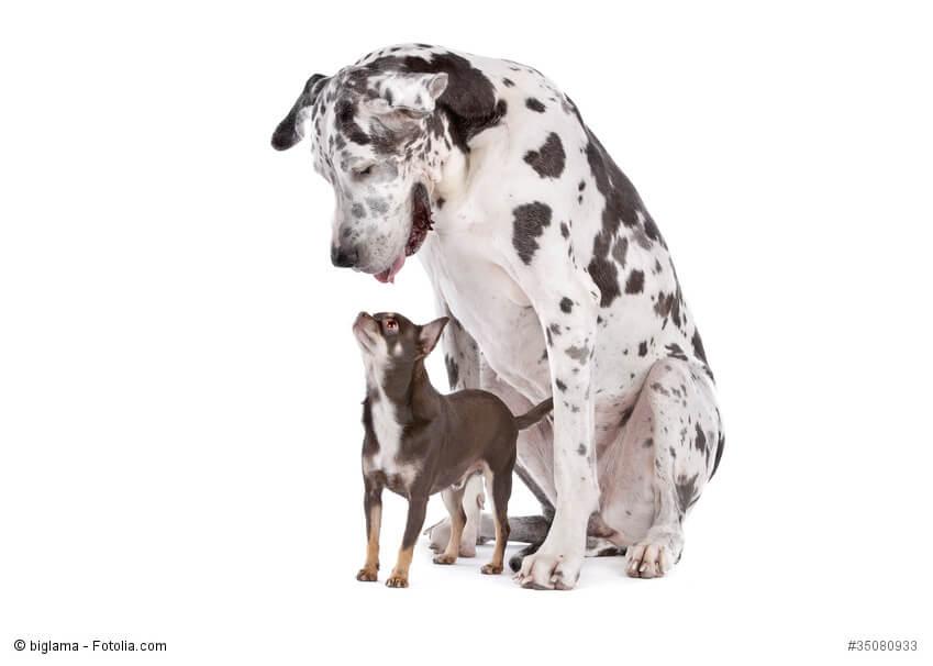 Ein großer gefleckter Hund schaut von oben auf einen zwischen seinen Beinen stehenden Chihuahua