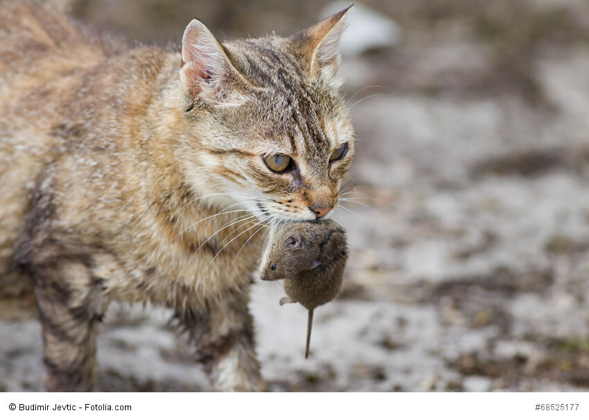 Eine getigerte Katze hält eine tote Maus im Maul
