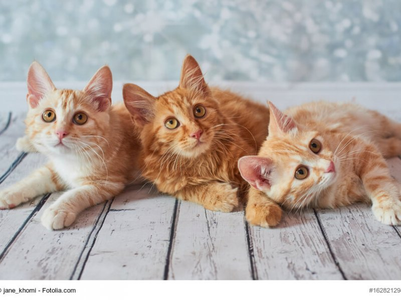 3 American Bobtail Kitten liegend