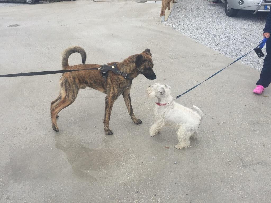 Ein junger Rüde steht an straffer Leine mit angespannter Körperhaltung vor einem weißen Terrier ebenfalls an straffer Leine und in angespannter Haltung
