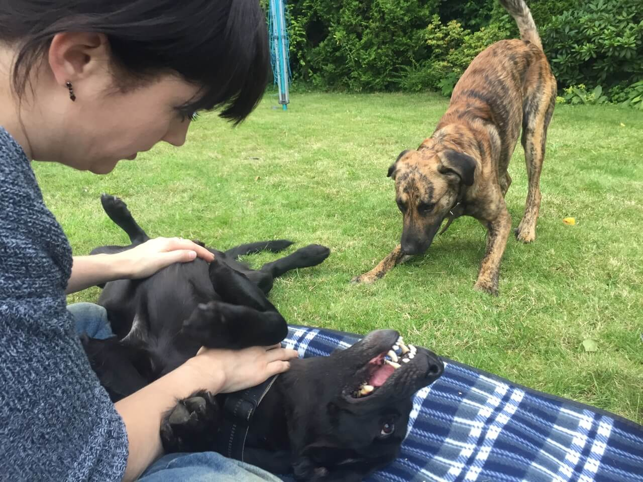 Links im Bild angeschnitten eine Frau, die einen schwarzen auf dem Rücken vor ihr liegenden Hund streichelt davor ein junger Hund in Oberkörpertiefstellung