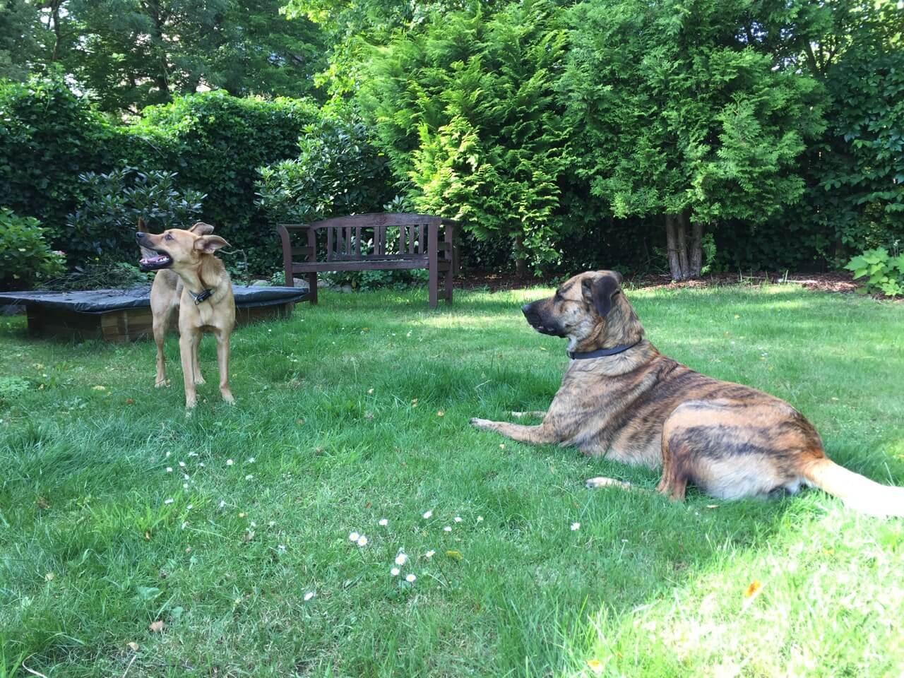 Ein Hund liegt rechts auf einer Wiese und schaut auf eine links stehende Hündin, die demonstrativ den Kopf wegdreht