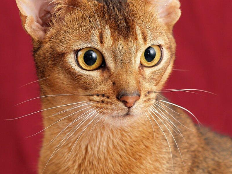 Abessiner Katze im Portrait