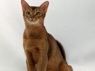 Sitzende Abessinier Katze , Kurzhaarrassen
