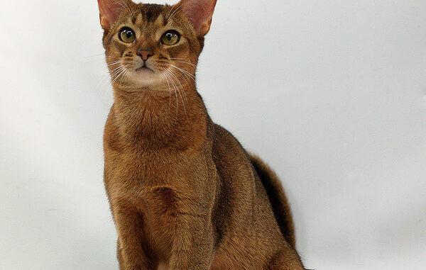 Sitzende Abessiner Katze , Kurzhaarrassen