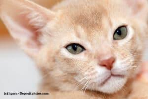 Nahaufnahme vom Kopf eines Abessinier-Kitten in Fawn