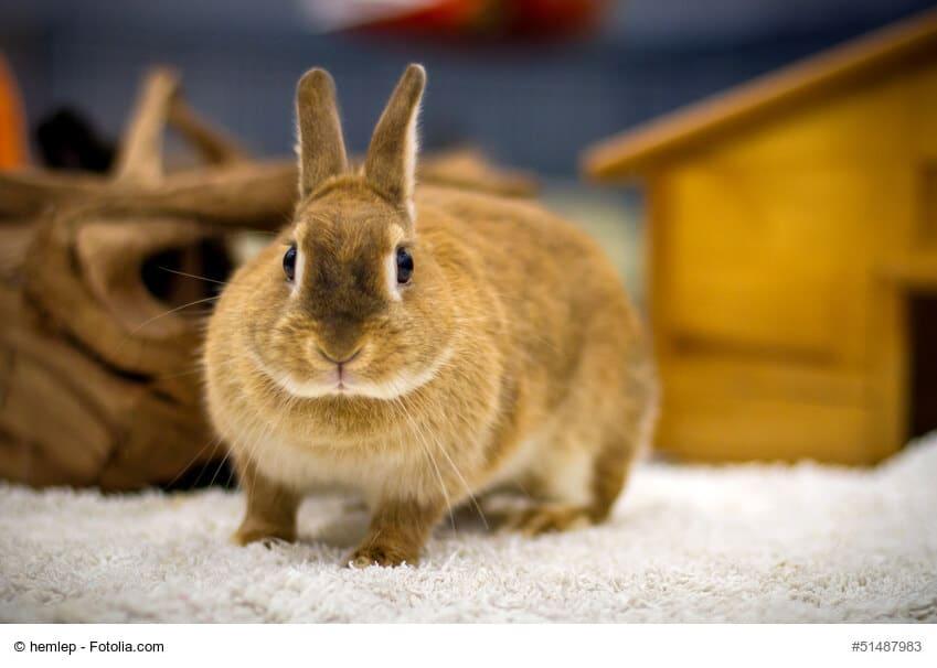 Hellbraunes Kaninchen auf weißem Teppichboden und vor einem Holzhaus