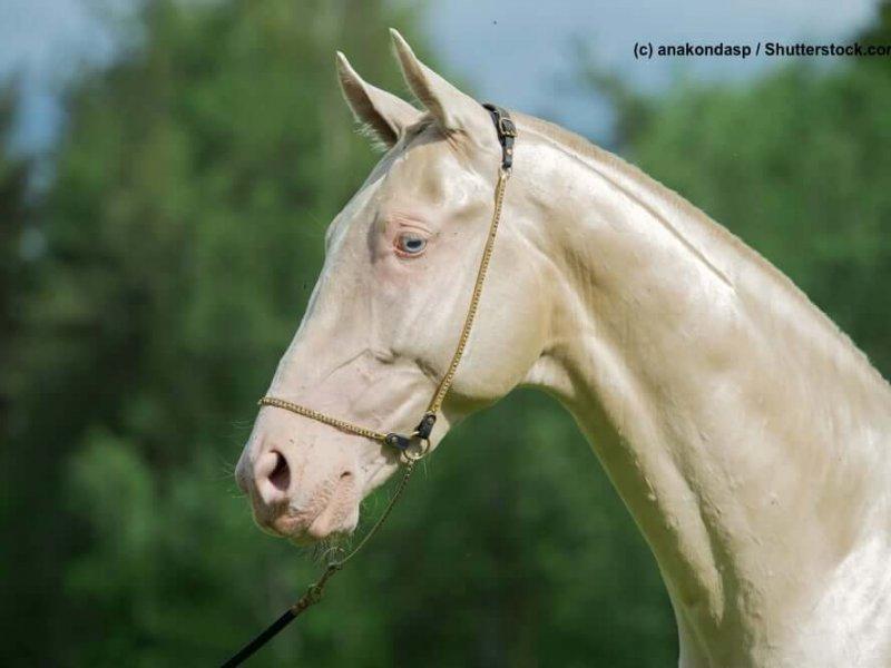 Achal-Tekinner Cremello-Gold im Portrait