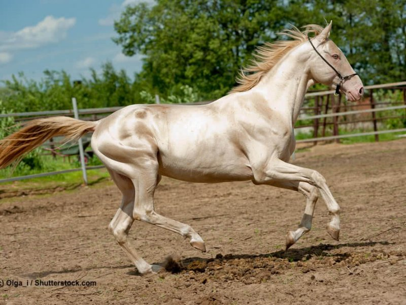Pferdefarben Achal-Tekkiner Cremello gold Cream-Gen
