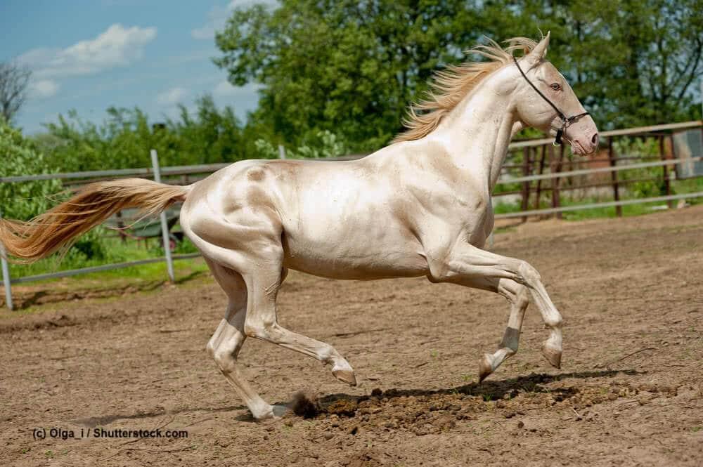 Goldene Achal-Tekkiner Stute galoppiert über Koppel. Für diese besondere Pferdefarbe ist das Cream-Gen verantwortlich.