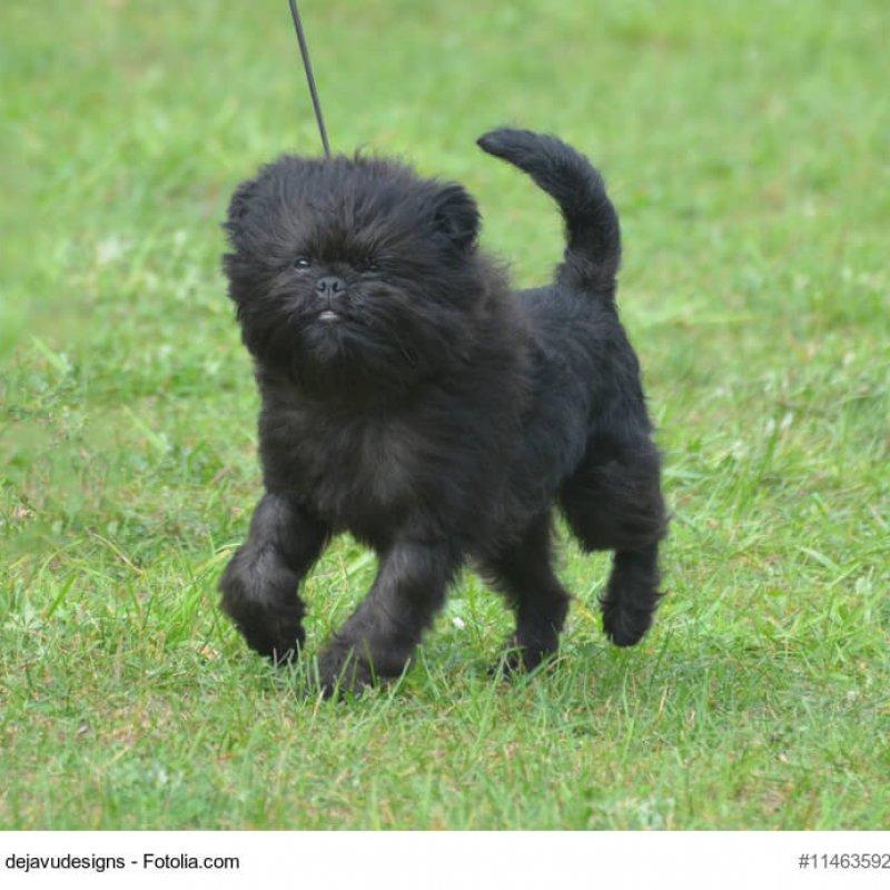 Kleiner, junger Affenpinscher auf Wiese