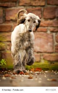 Afghanischer Windhund Welpe im lauf