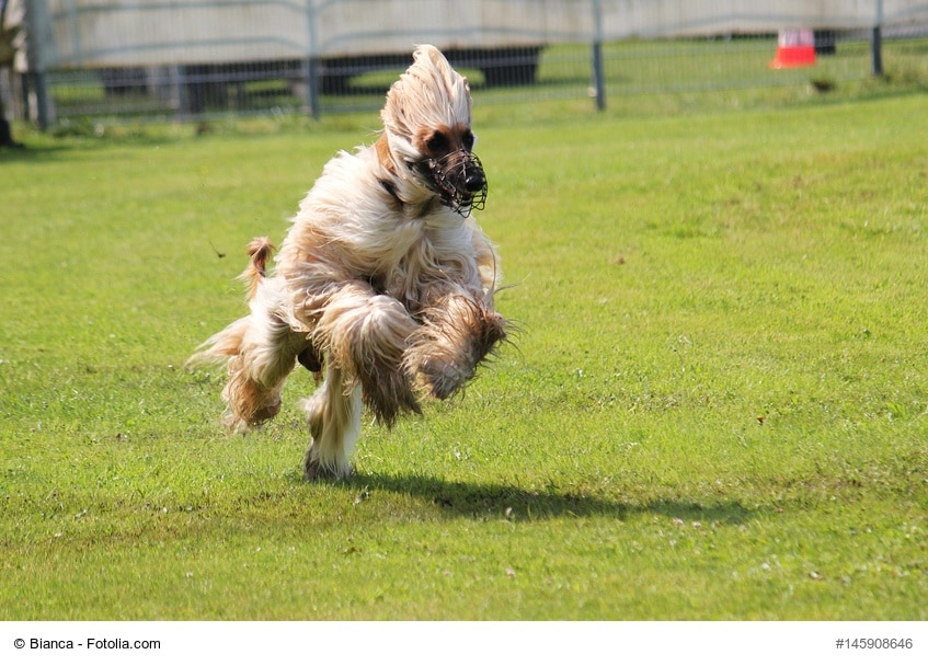 Afghanischer Windhund in voller Geschwindigkeit