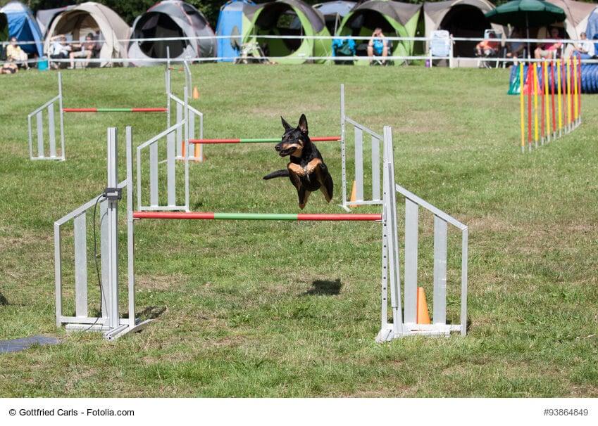 Parcour in einem Agility-Turnier mit einem Hund, der über ein Hindernis springt, im Hintergrund Zelte