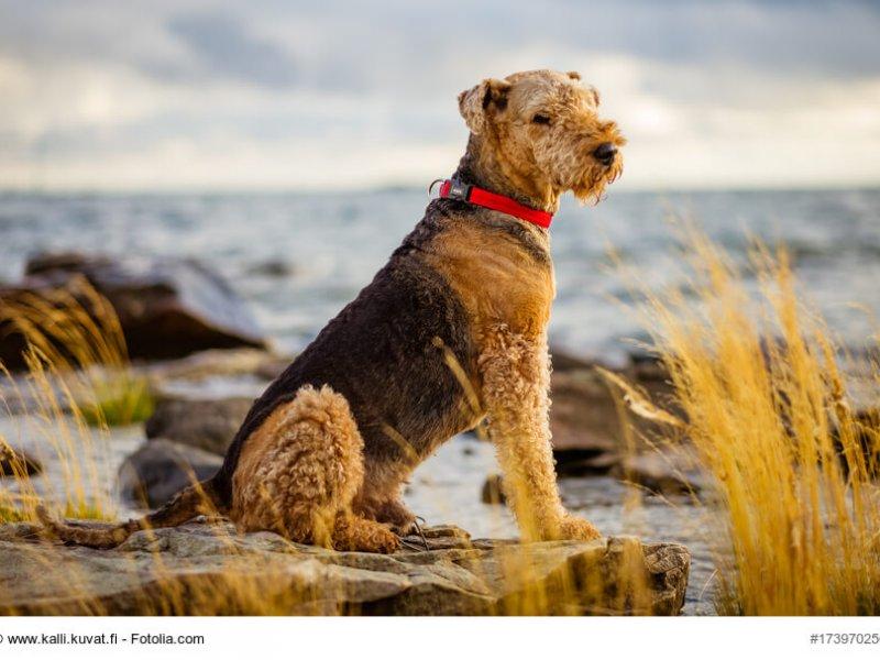 Airedale-Terrier im sitzen an der Küste