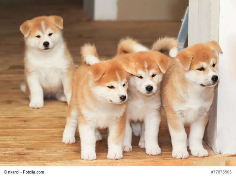 Vier junge Akita-Inu Welpen