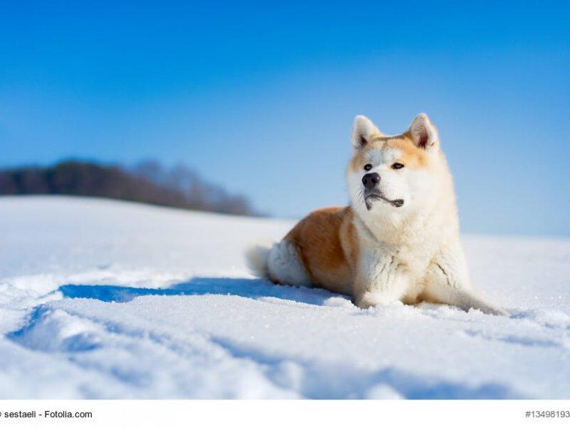 Akita-Inu liegt im Schnee in der Sonne