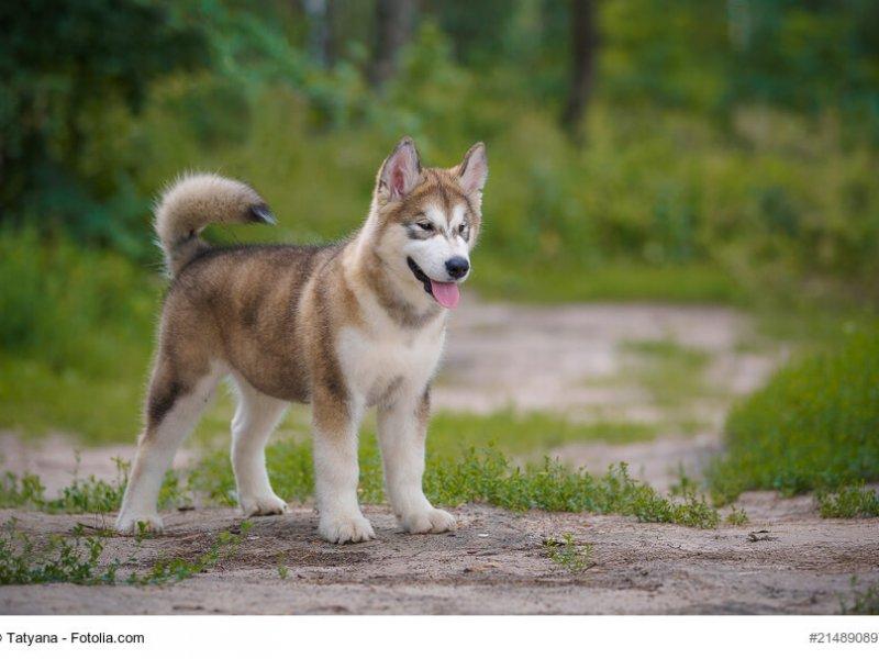 Alaskan Malamute Junghund stehend