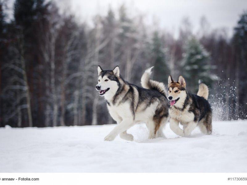 Zwei Alaskan Malamute im Schnee
