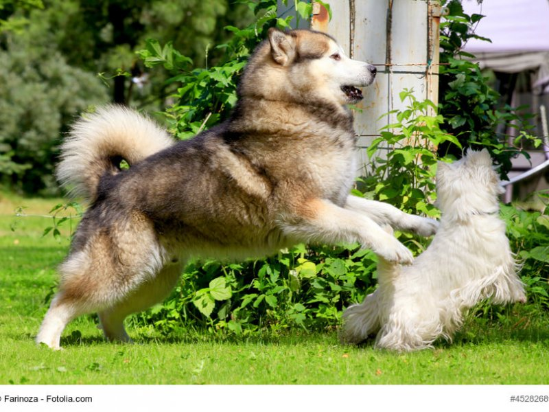 Alaskan Malamute spielt mit anderem Hund