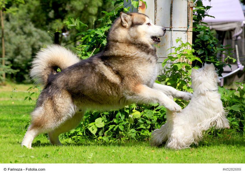 Alaskan Malamute spielt mit kleinem Hundefreund