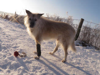 Physiotherapie für alte Hunde - Heller, stehender Hund mit Ball und Verband am Vorderbein, dem man durch sein Fell und die raue Schnauze sein fortgeschrittenes Alter ansieht.