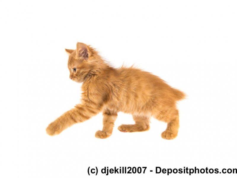 Rotes American Bobtail Kitten