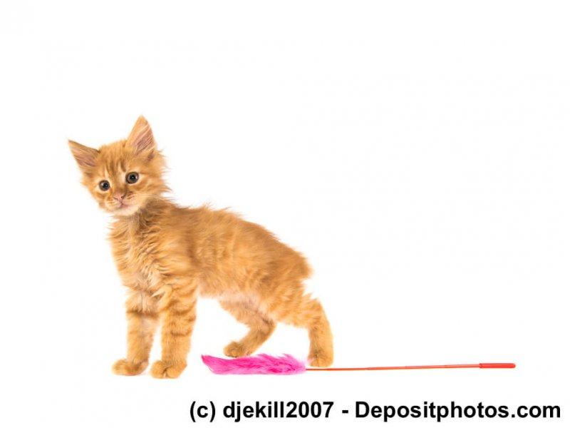 Verspieltes American Bobtail Kitten