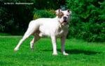 American Bulldog Steckbrief