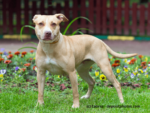 American Pit Bull Terrier Steckbrief
