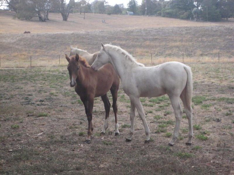 American-Saddlebred-Fohlen