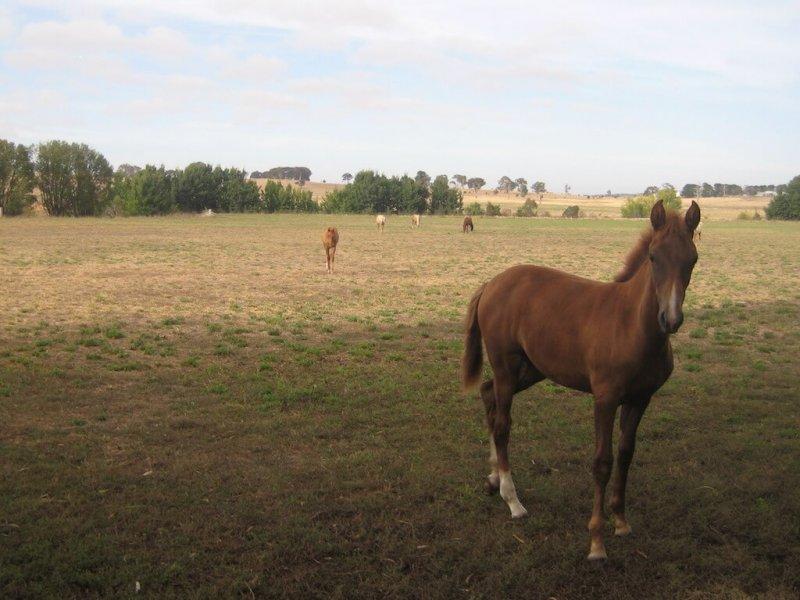 American-Saddlebred-Fohlen-Weide