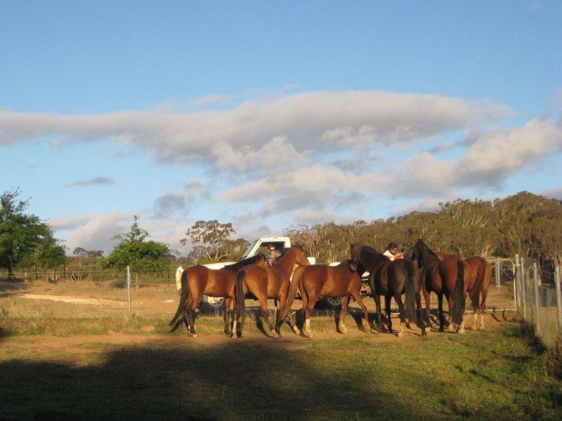 American-Saddlebred-Fuetterung