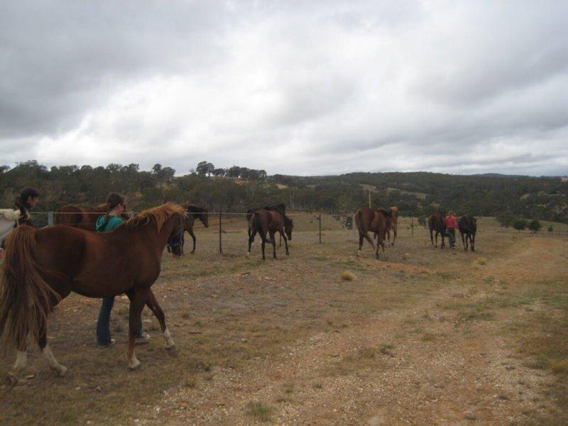 American-Saddlebred-Herde